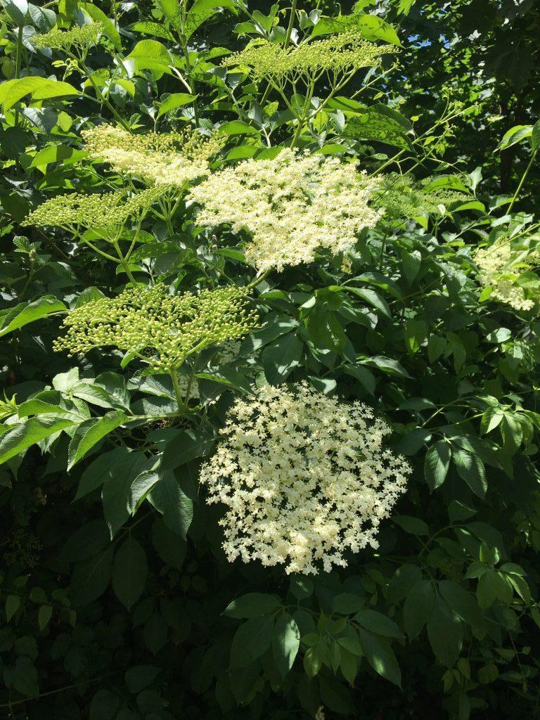 Fleurs_sureau_Naturopathe_Uriage